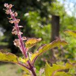 Растение туласи
